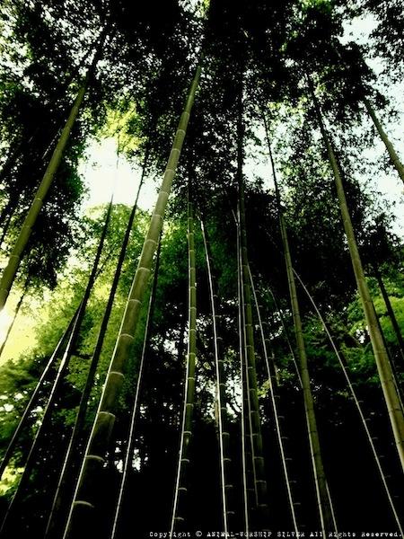 竹は間隔を空けて配置されています。
